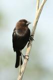 Brown Headed Cowbird, British Columbia