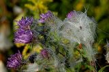 Asters and Milkweed