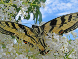 A Different View  ( Tiger Swallowtail )