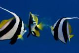 Bannerfile fish
