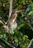 Immature Green Heron pb.jpg