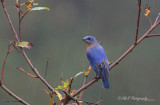 Bluebird in the rain pb.jpg