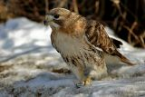 Red Tail with lunch.jpg