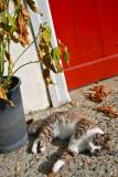 Espelette kitty