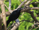 Great-tailed Grackle, ''Quiscalus mexicanus''