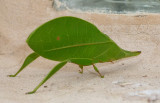 Leaf Bug (Miridea)