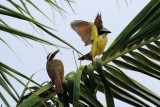 Great Kiskadee, Pitangus sulphuratus