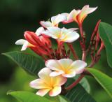 Sancuanjoche (Plumeria rubra) National Flower of Nicaragua