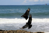 Black Vulture, Coragyps atratus, at the Beach