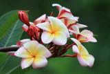 Sancuanjoche (Plimeria Rubia)