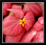 Flowers Of Nicaragua