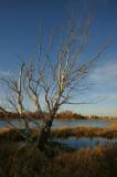 DSC05621 - Kent's Pond Birch