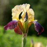 Flowers at MUN Botanical Garden 001