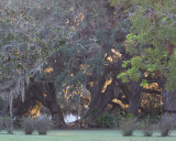 The sun setting behind the moss laden live oaks