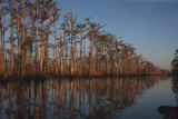 Cypresses Along a Bayou dying from what?