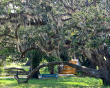 Spanish Moss in Live Oaks