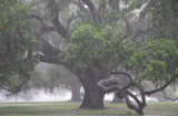 Live Oaks in the Rain