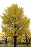 Japan - Yellow Tree