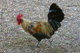 Chicken 3463.jpg