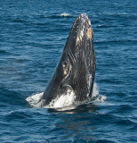 Humpback Whale Spyhopping---Two Images