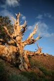 Bristlecone Sunset #1