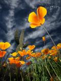 Variations on the Desert Poppy