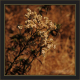 California Horseweed
