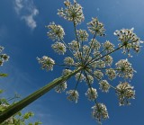 Under the Umbelliferae by Jono