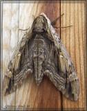 Sphynx des ormes - Ceratomia amyntor