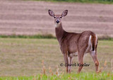 Surprised White Tail Deer
