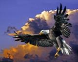 AMERICAN BALD EAGLE   IMG_0002 (c)