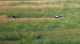 Kraanvogel / Common Crane
