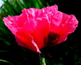 Shocking Pink Poppy
