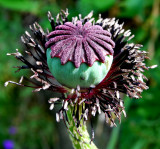 Green and Purple Poppy Seedhead