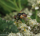 Parasitic fly (Gymnosoma sp.) on yarrow
