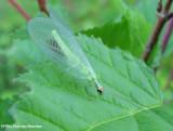 Green lacewing (Chrysoperla )