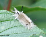 Banded tussock moth caterpillar(Halysidota tessellaris), #8203