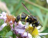 Bee and wasp mimics
