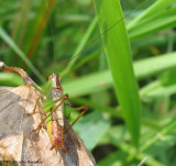 Short-winged meadow katydid (Conocephalus brevipennis sp.)