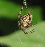 Orb Weaver spiders (Araneidae)