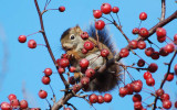 Red squirrel/écureuil  roux eating crabapples