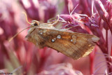 Cutworm or Dart Moths (Family: Noctuidae, Subfamily: Noctuinae) 9549 - 11003.1