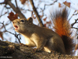 Red squirrel giving a scolding