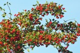 Berries DSC_7432-1.jpg