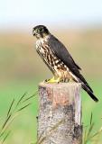 Merlin, G.Pre DSC_6348-2.jpg