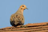 Mourning Dove DSC_6415-1.jpg