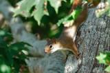 Red Squirrel DSC_7439-1.jpg