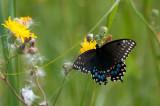 Swallowtail, Grand Pre DSC_5694.jpg