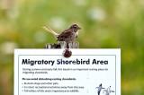 A Migratory Shorebird? DSC_5704-1.jpg