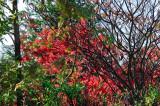 Fall foliage DSC_7689-1.jpg